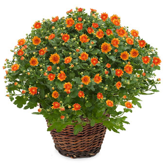 Blombud med orange krysantemum