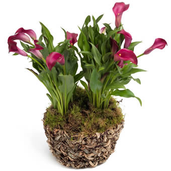 Charming Calla in Cerise