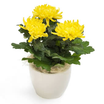 Blossom yellow chrysanthemum