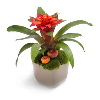 Decorated guzmania