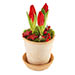 Tulips in pot