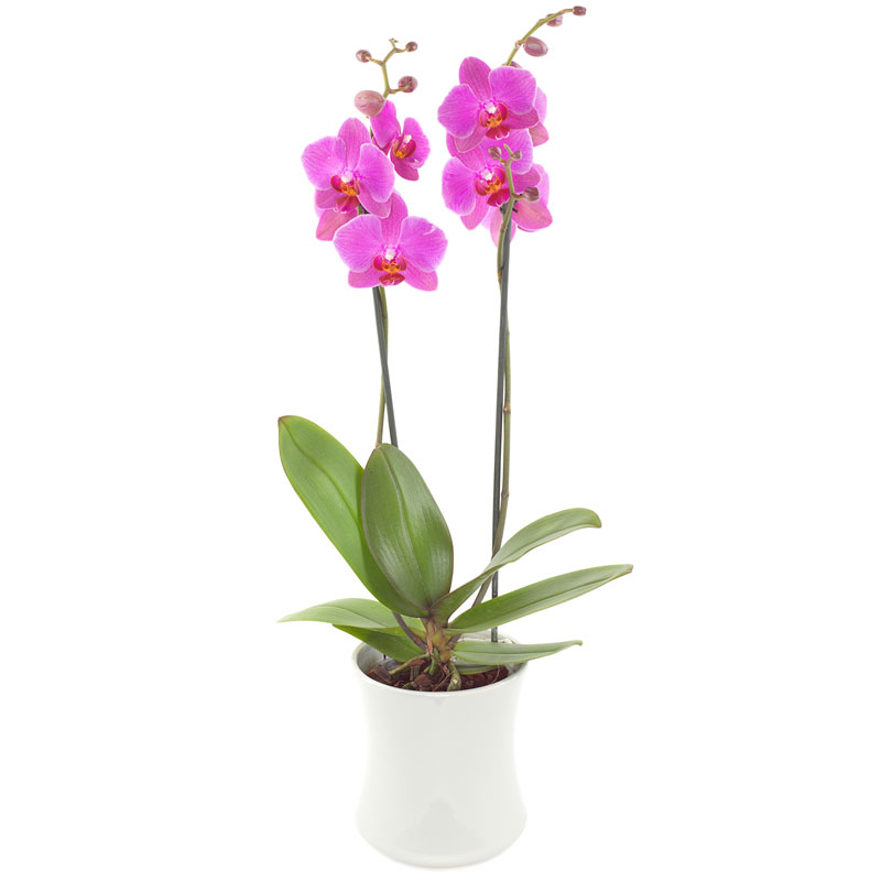 Charming pink orchid