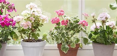 Skötselråd för blommor och växter
