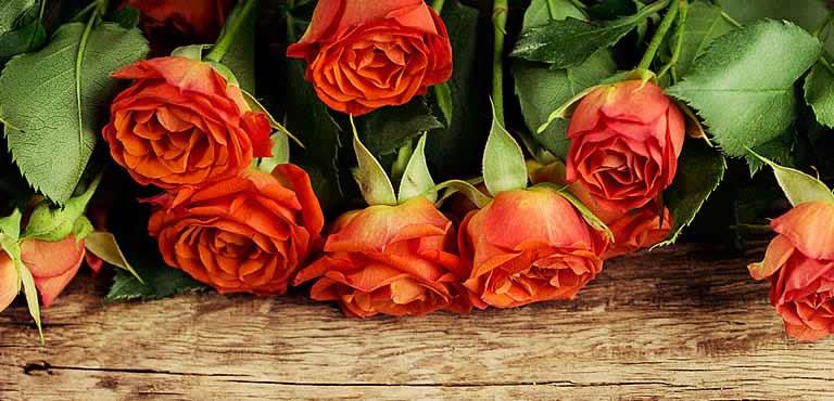 Skötselråd rosor
