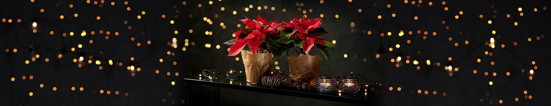 Julstjärna på ett bord mot en bakgrund av en ljusslinga