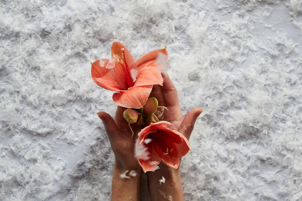 Händer som kupar en amaryllisblomma.