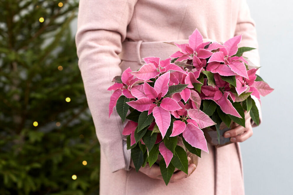 En kvinna i rosa kappa håller två rosa julstjärnor i händerna.