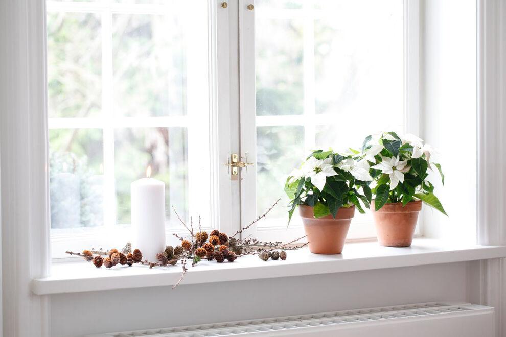 Vita julstjärnor i en fönsterkarm.