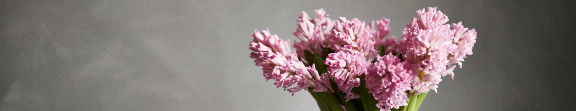 En hel bukett rosa, väldoftande hyacinter syns mot en grå bakgrund.