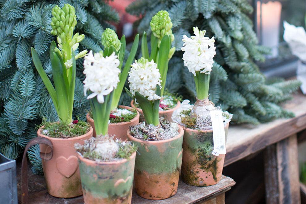 På en gammal sliten träbänk står sex stycken terrakottakrukor med vita hyacinter planterade i dem, kring löken ligger det lite grönmossa