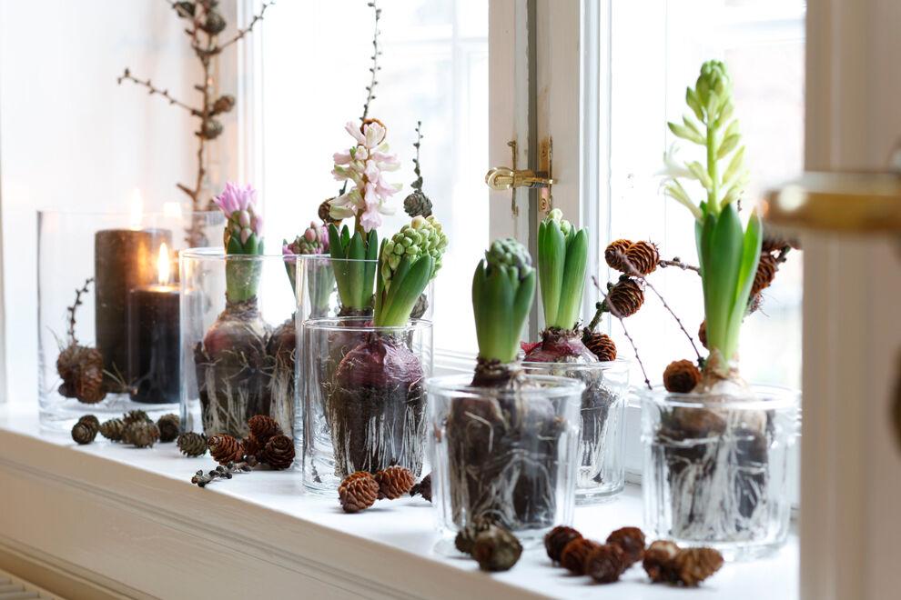 På ett vitt fönsterbräde står sex glasvaser med hyacinter planterade i dem. Runtomkring vaserna ligger kottar som både sitter fast på grenar och ligger löst i klungor.