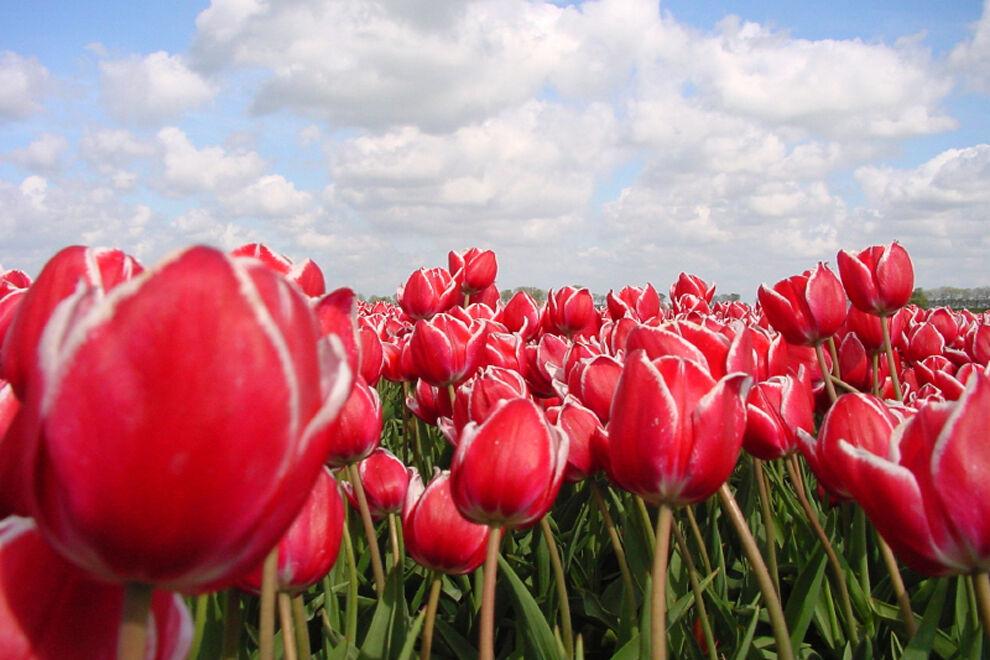 Ett fält med tulpaner.